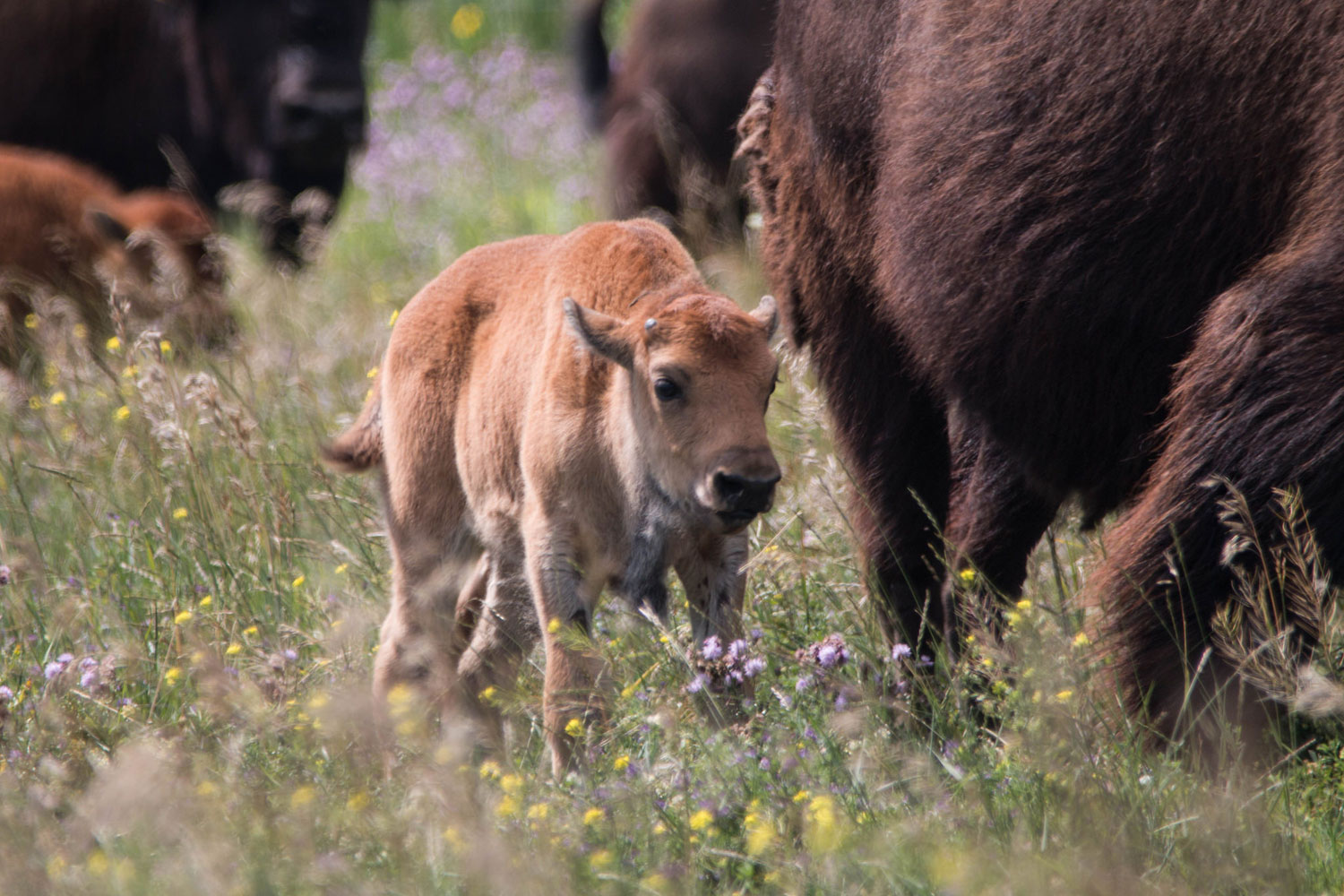 World's first in vitro bison calves born at U of S
